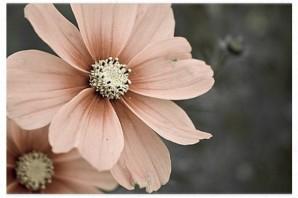 Blush-Daisy-Charcoal-Blush-Board-298x198